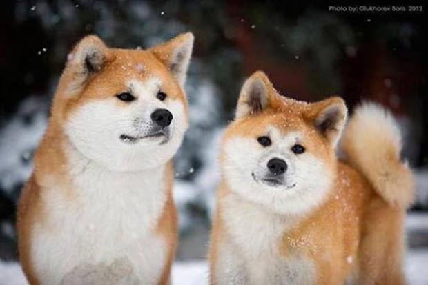 Akita-dog-breed1